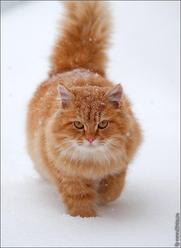 кошка, Алексей Строганов www.BFoto.ru