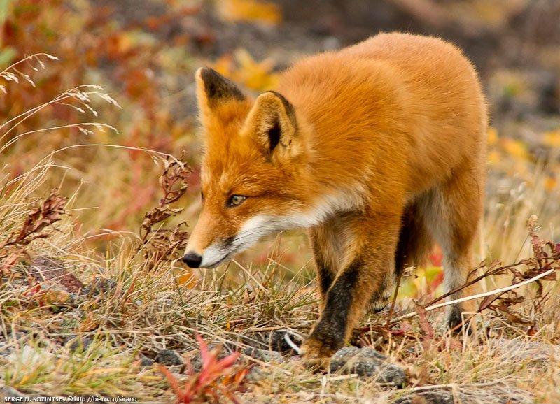 лиса, животное, зверь, млекопитающее, Sirano