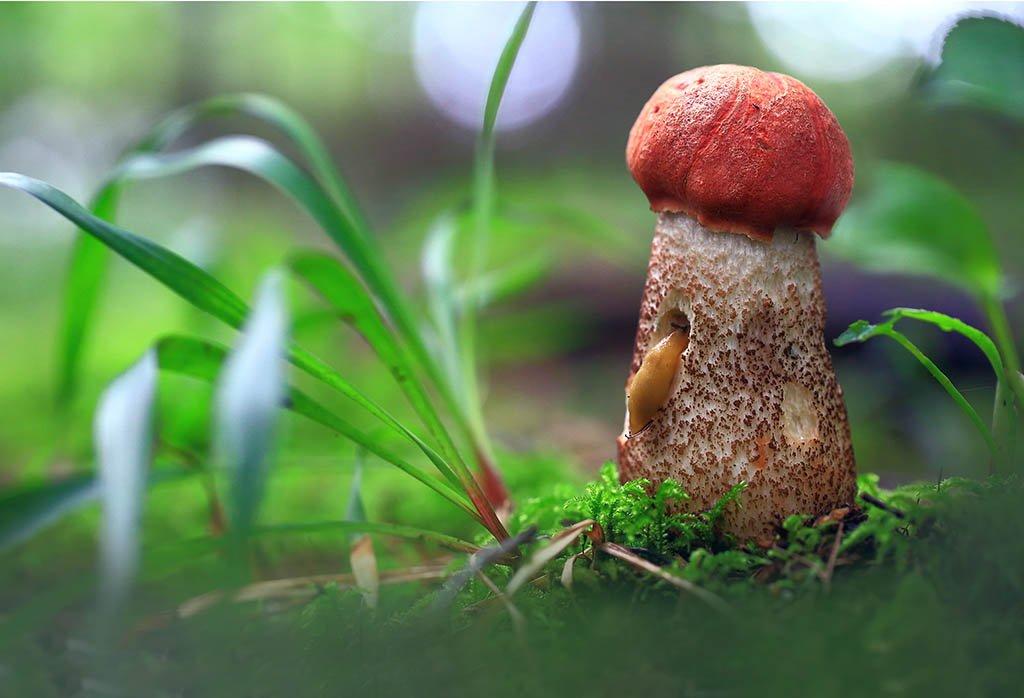 гриб,подосиновик,рыжий,оранжевый,красавец,лес,мох,деревья,растения,натура,лето,фон,зеленый,коричневый,красиво,листва,пасмурно., Виктор Шнайдер