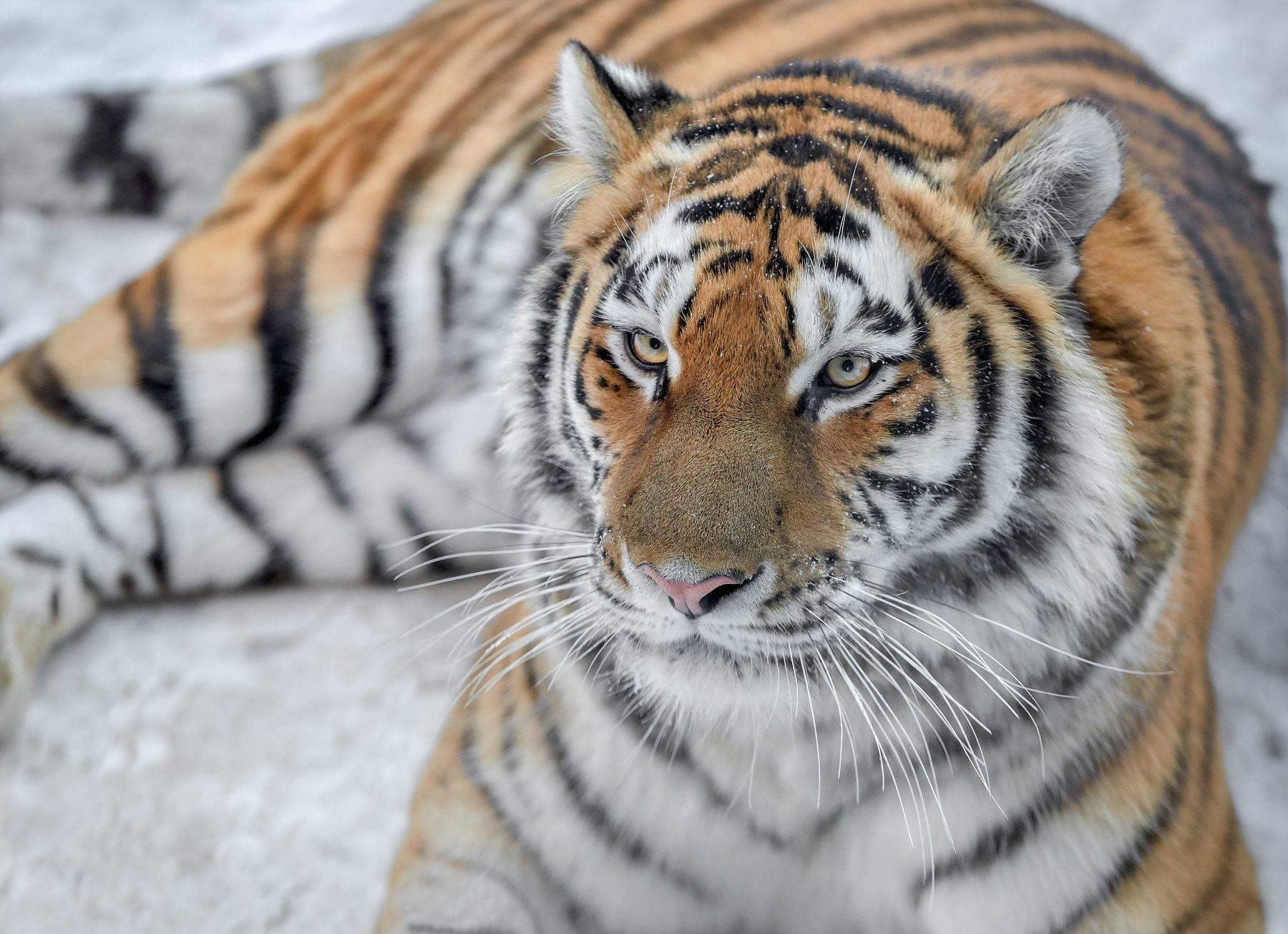 амурский тигр, тигры, кошки, Олег Богданов
