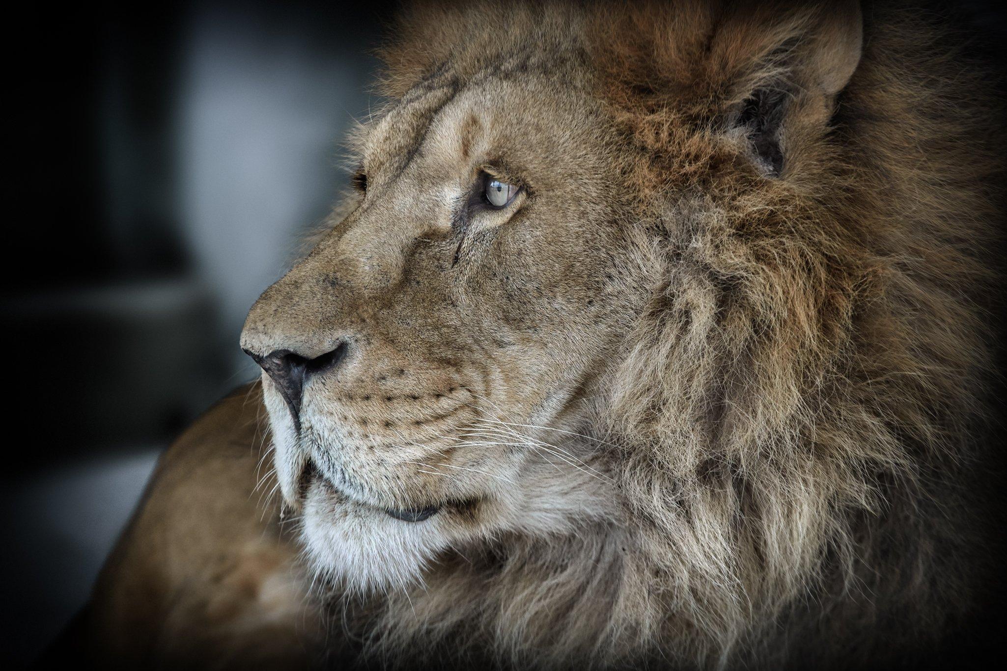 лев,  природа, большие кошки, Олег Богданов