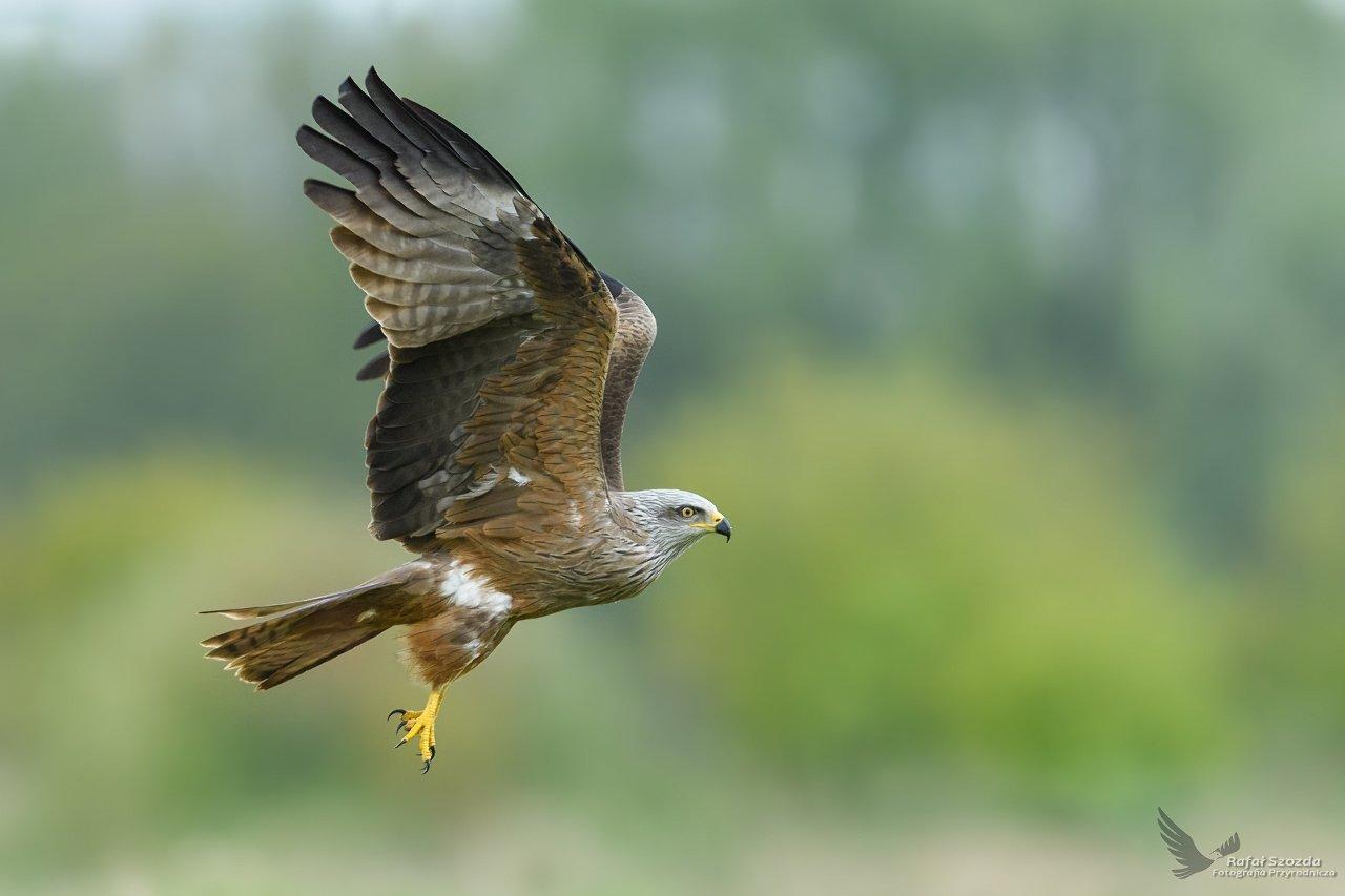 black kite, birds, nature, animals, wildlife, colors, flight, green, meadow, nikon, nikkor, lens, freedom, lubuskie, poland, Rafał Szozda