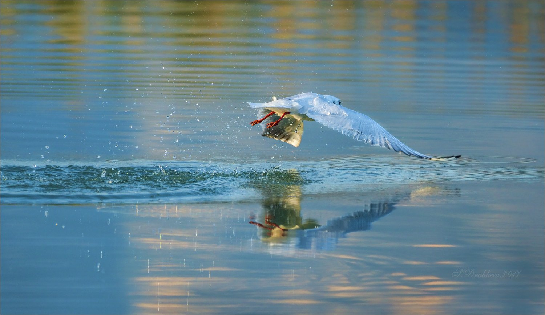 чайка, осень, птицы, Sergey Drobkov