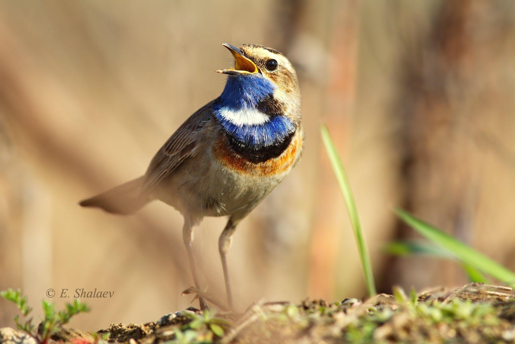 birds,bluethroat,luscinia svecica,варакушка,птица,птицы, Евгений