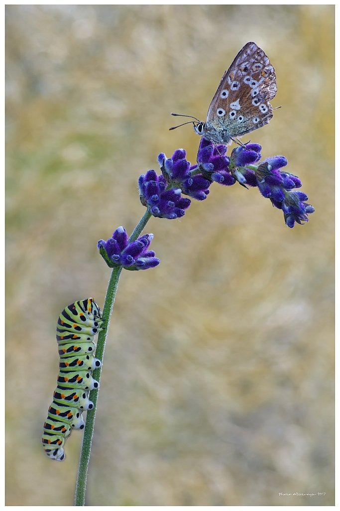 macro nature butterfly, adestroyer