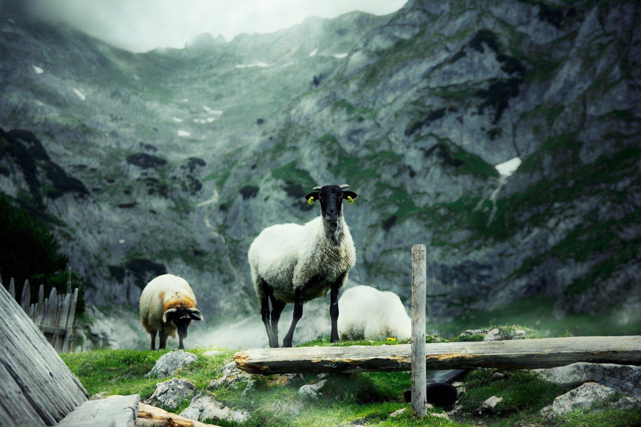 montenegro, durmitor, alpine, mountain, nature, domestic, grazing, sheep, wool, animal, high, clouds, summer pasture, черногория, дурмитор, альпийская, гора, природа, внутренние, выпас скот, овцы, шерсть, животное, высокие, облако, летние пастбища,, Марко Радовановић