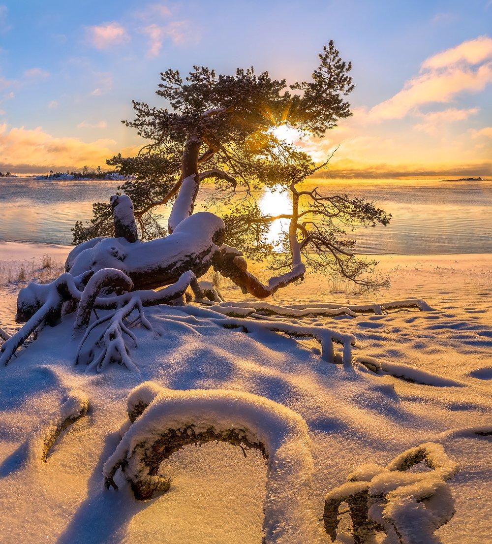 ладожское озеро, карелия, остров, зима, снег, рассвет, иней, мороз, сосна, солнце, шхеры, корни, дерево, пляж., Лашков Фёдор