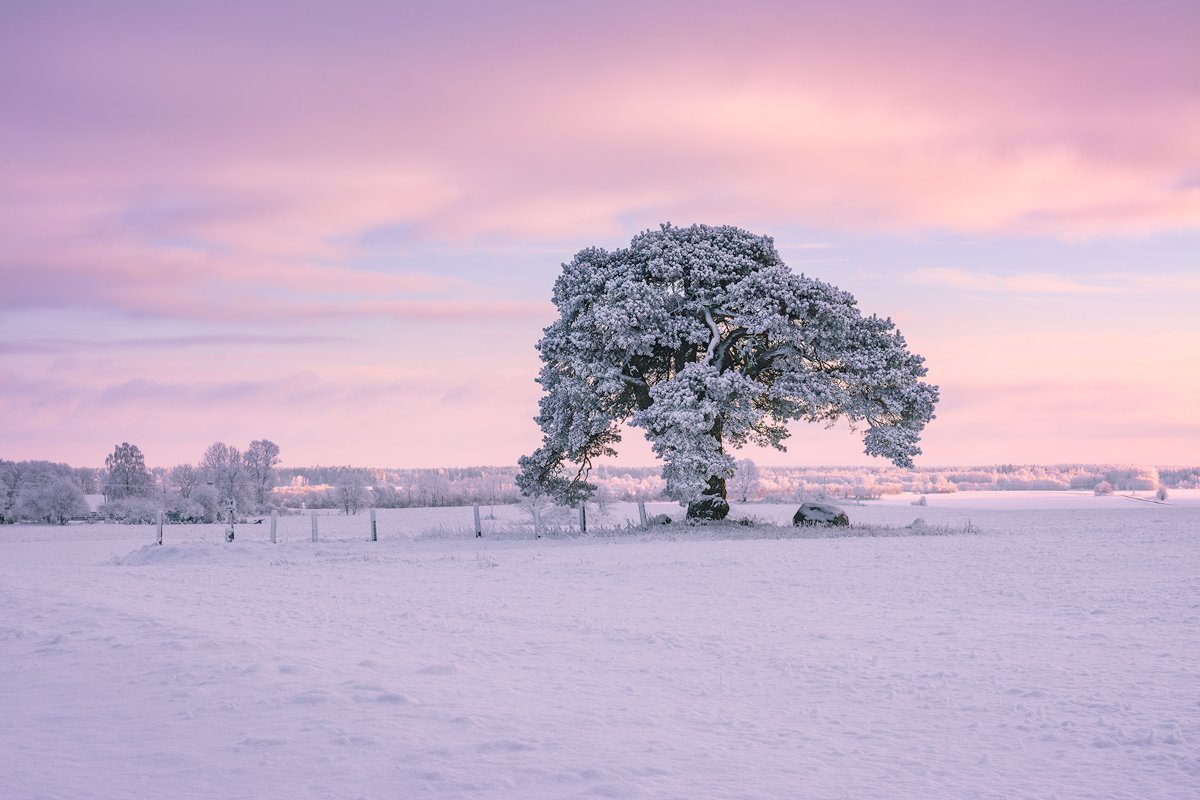 laekvere;, pine;, cold;, estonia;, winter;, sunset;, snow;, pink;, pinksky;, sky;, Imre Aunapuu