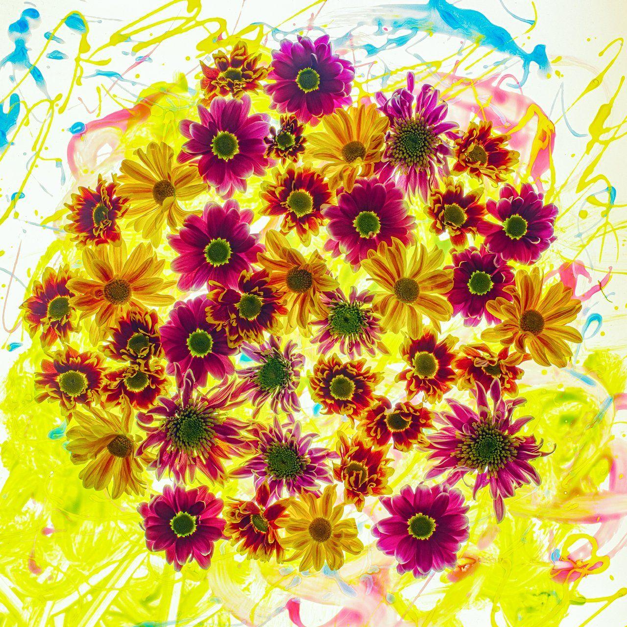 цветы,цветок,макро,хризантема,боке, Александр Иванов