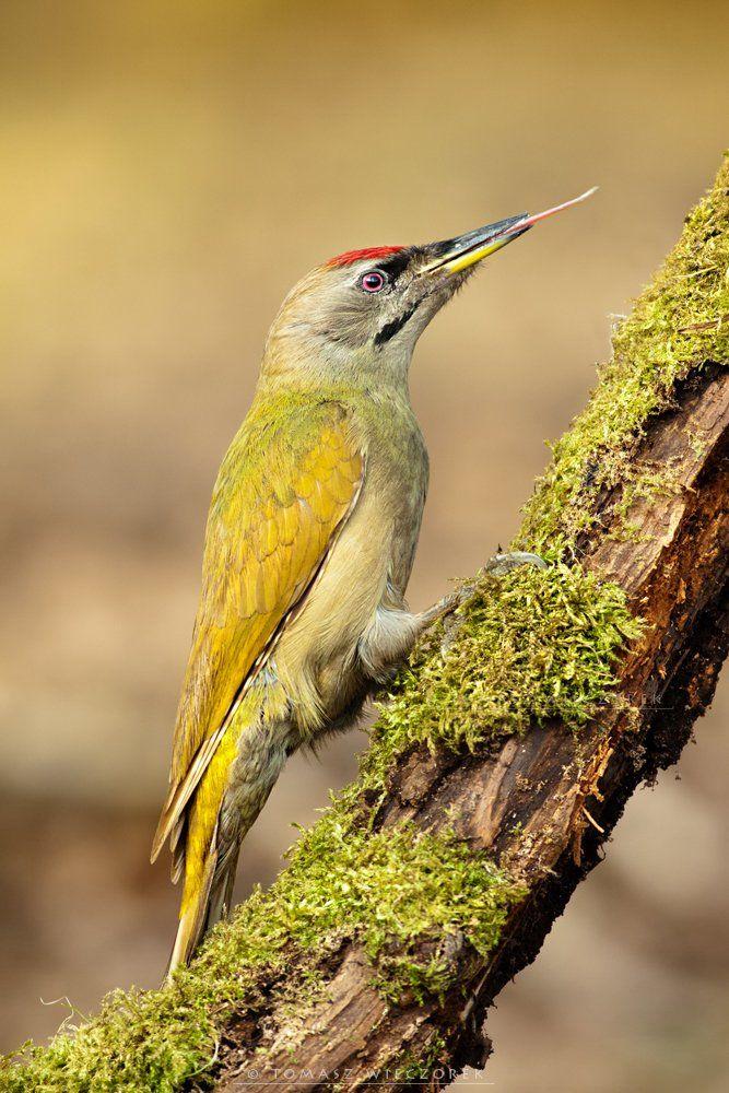 poland, hide, wildlife, autumn, bird, woodpecker, grey-faced,, Tomasz Wieczorek