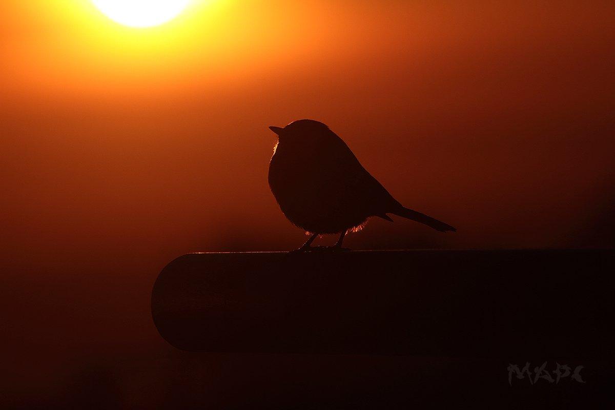 животные птицы синица зима закат, Шангареев Марс