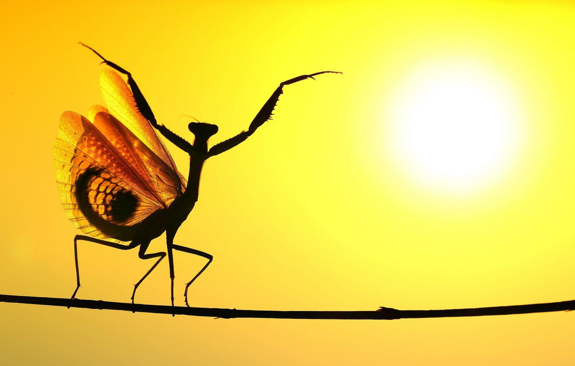 praying,mantis,sunset,dancing,nature,macro,cyprus, Hasan Baglar
