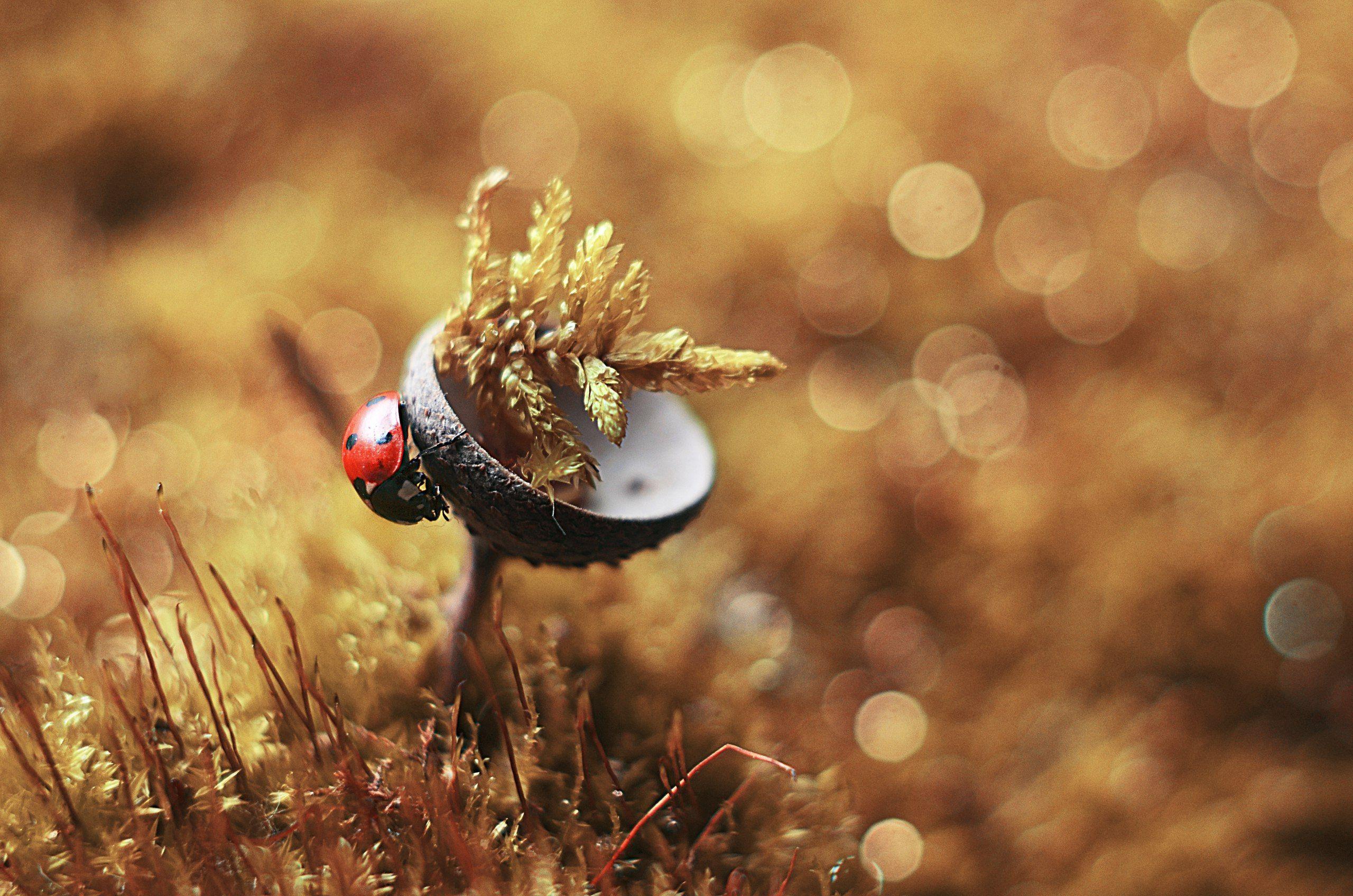 макро, жук, желтый, красиво, божья коровка, фотогография, Лапшина Владлена