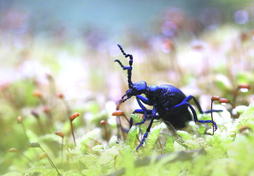 весна, жук, черный, крыло, броня, красиво, лето, макро, фото, маленький, насекомые, один, природа, растения, фауна, Флора, фон, зеленый, цветы;, Виктор Шнайдер