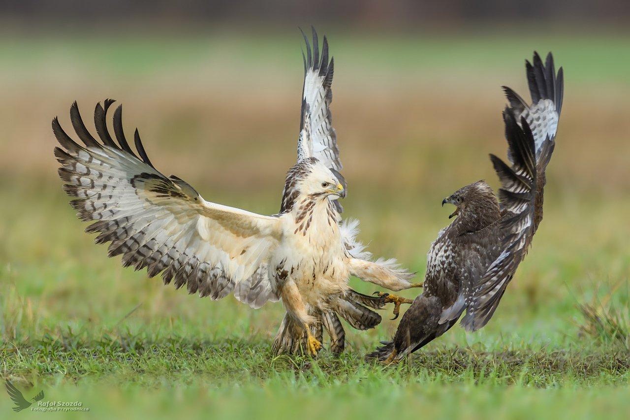 birds, nature, animals, wildlife, colors, winter, flight, fight, meadow, nikon, nikkor, lens, lubuskie, poland, Rafał Szozda