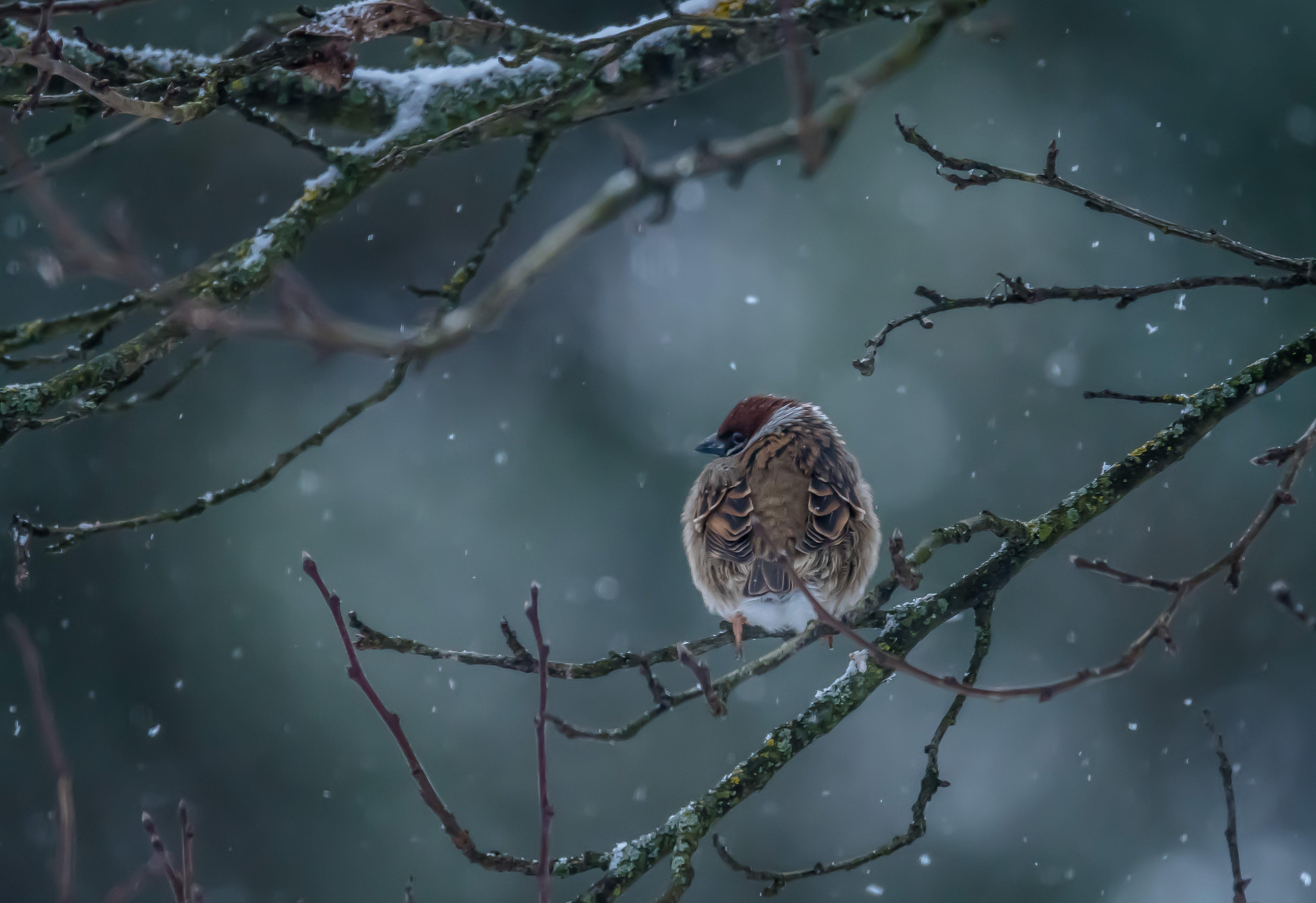 полевой воробей, декабрь, снег, пасмурно, воробушек, сумерки, зима, 2017 год, passer montanus, Соварцева Ксения