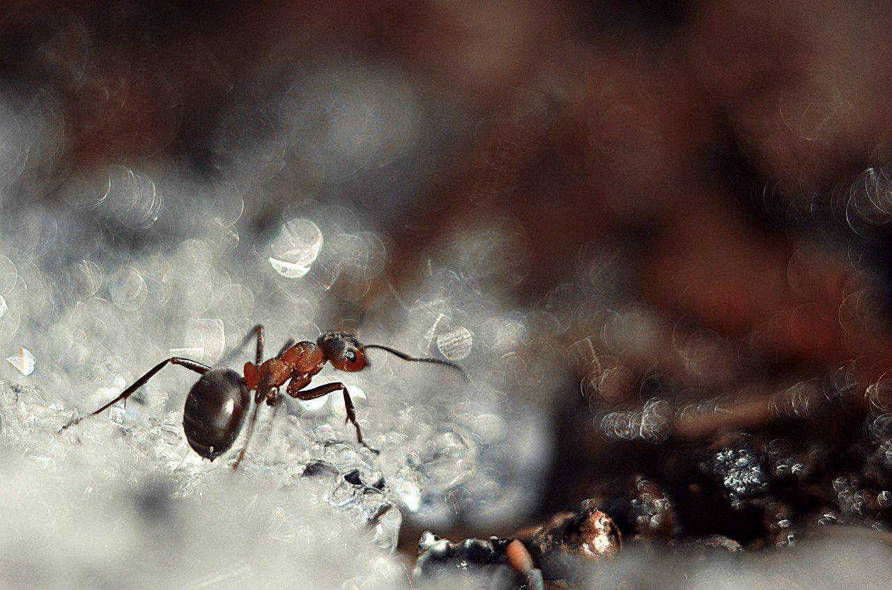 макро, муравей, гелиос, красиво, макрофотография, фотограф,  макро истории, макро красот,  макро мир, макро фото, Лапшина Владлена