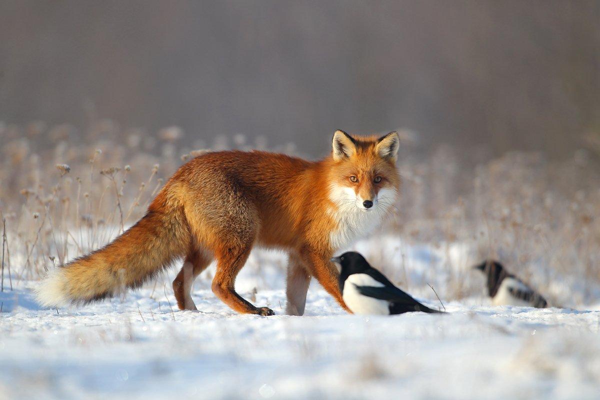 #fox #wild #poland #dolinanarwi, Lukasz Dobkowski