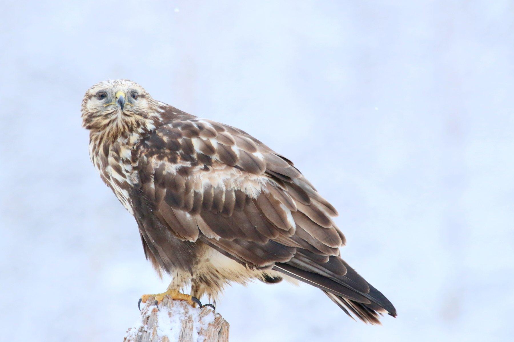 buteo lagopus, rough-legged buzzard, buzzard, nature, bird, bird of prey, forest, woods, winter, Evaldas Vaitkus