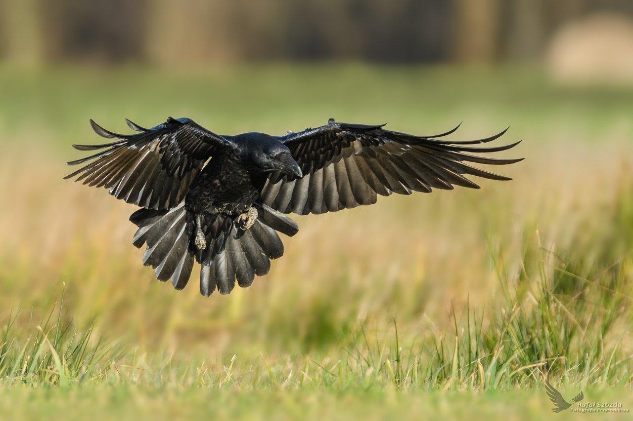 birds, nature, animals, wildlife, colors, meadow, flight, nikon, nikkor, lens, lubuskie, Rafał Szozda