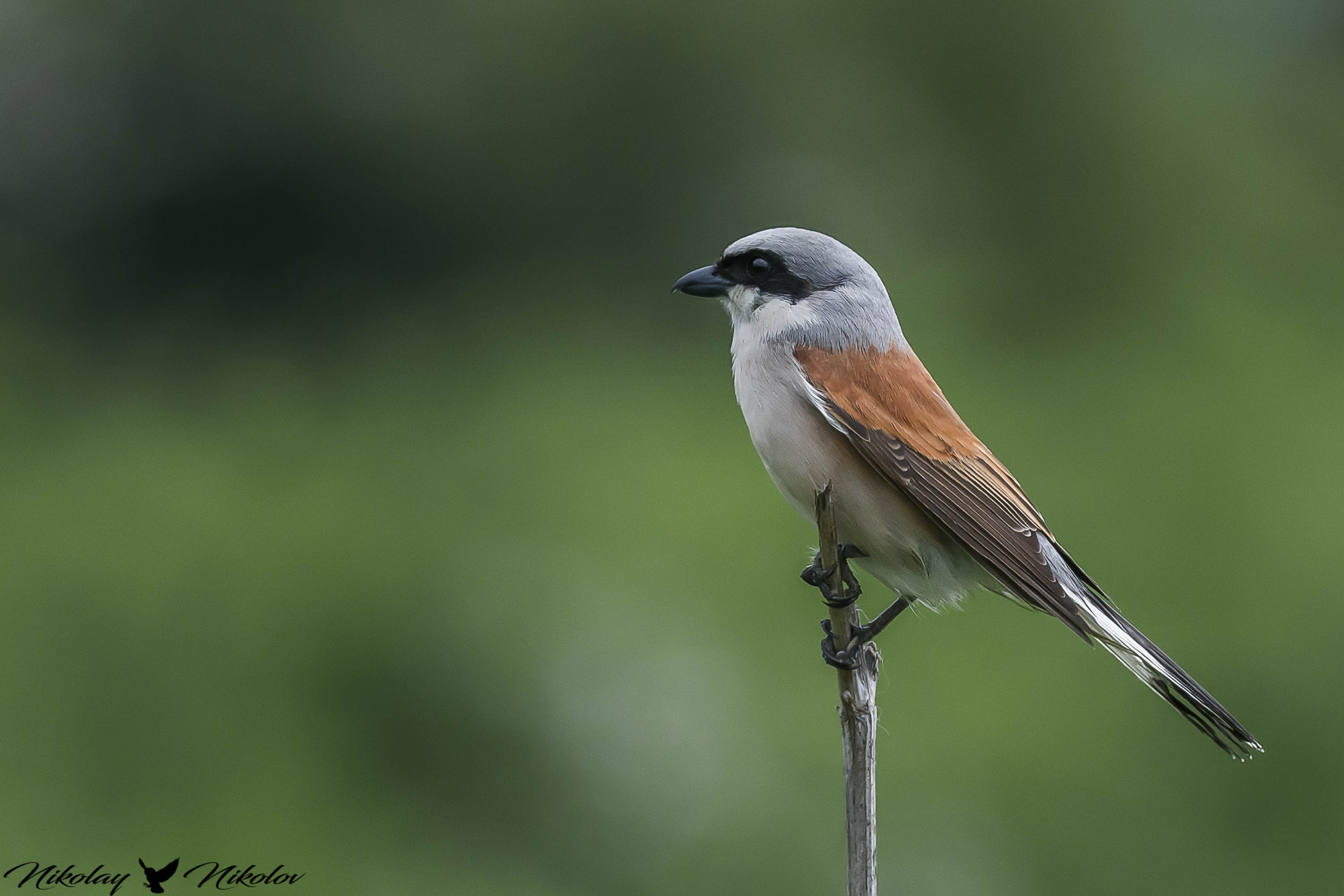 red-backed shrike,красная спина,червеногърбата сврачка,bird,portrait,landscape,wildlife,autum,sun,forest,nature, Nikolay Nikolov