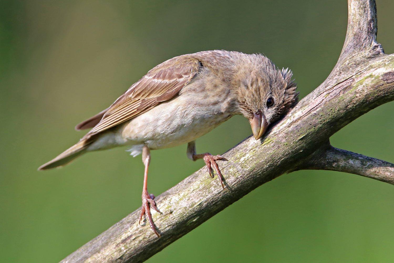 чечевица, Common Rosefinch, Carpodacus erythrinus, Mazais svilpis, Riga, Latvia, Виктор Иванов