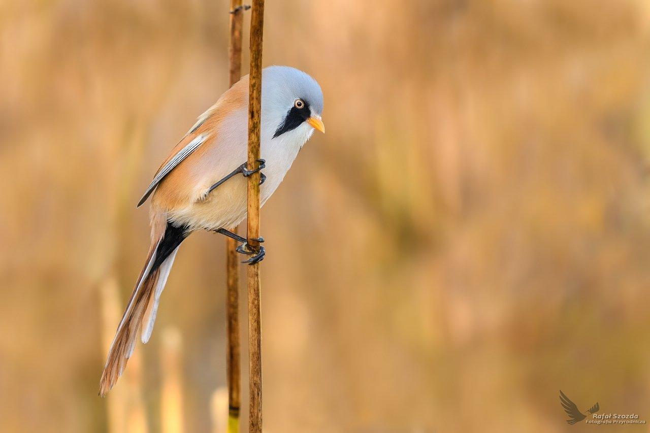 birds, nature, animals, wildlife, colors, winter, nikon, nikkor, lens, lubuskie, Rafał Szozda