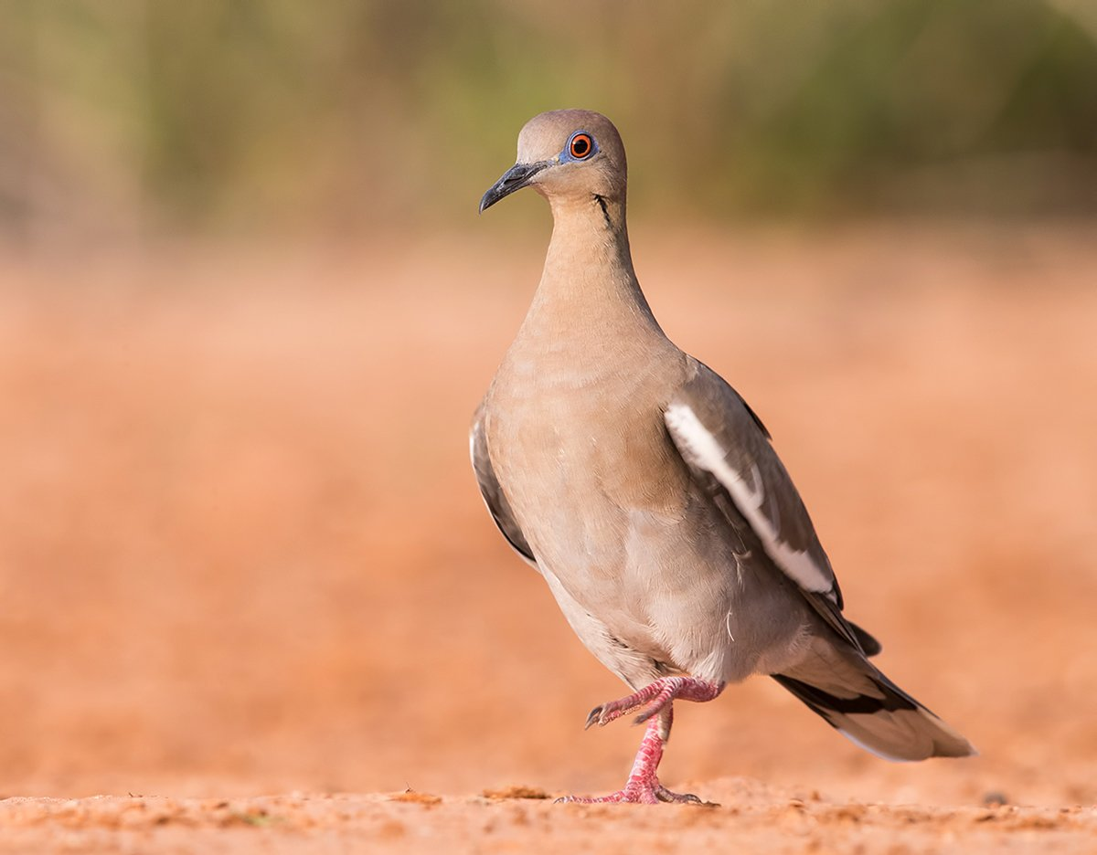 white winged dove, голубь, dove, texas, Elizabeth E