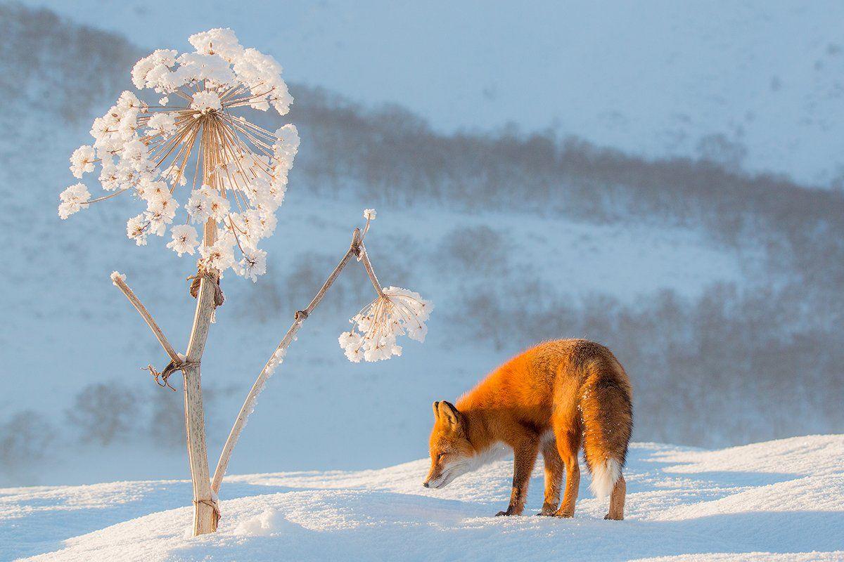 Снежный одуванчик. Денис Будьков