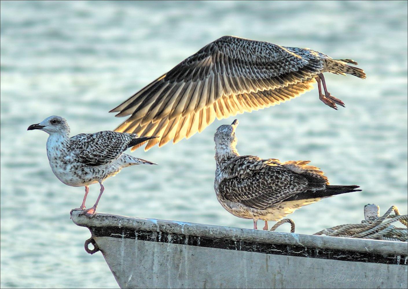 чайка, лодка, осень, птицы, закат, Sergey Drobkov