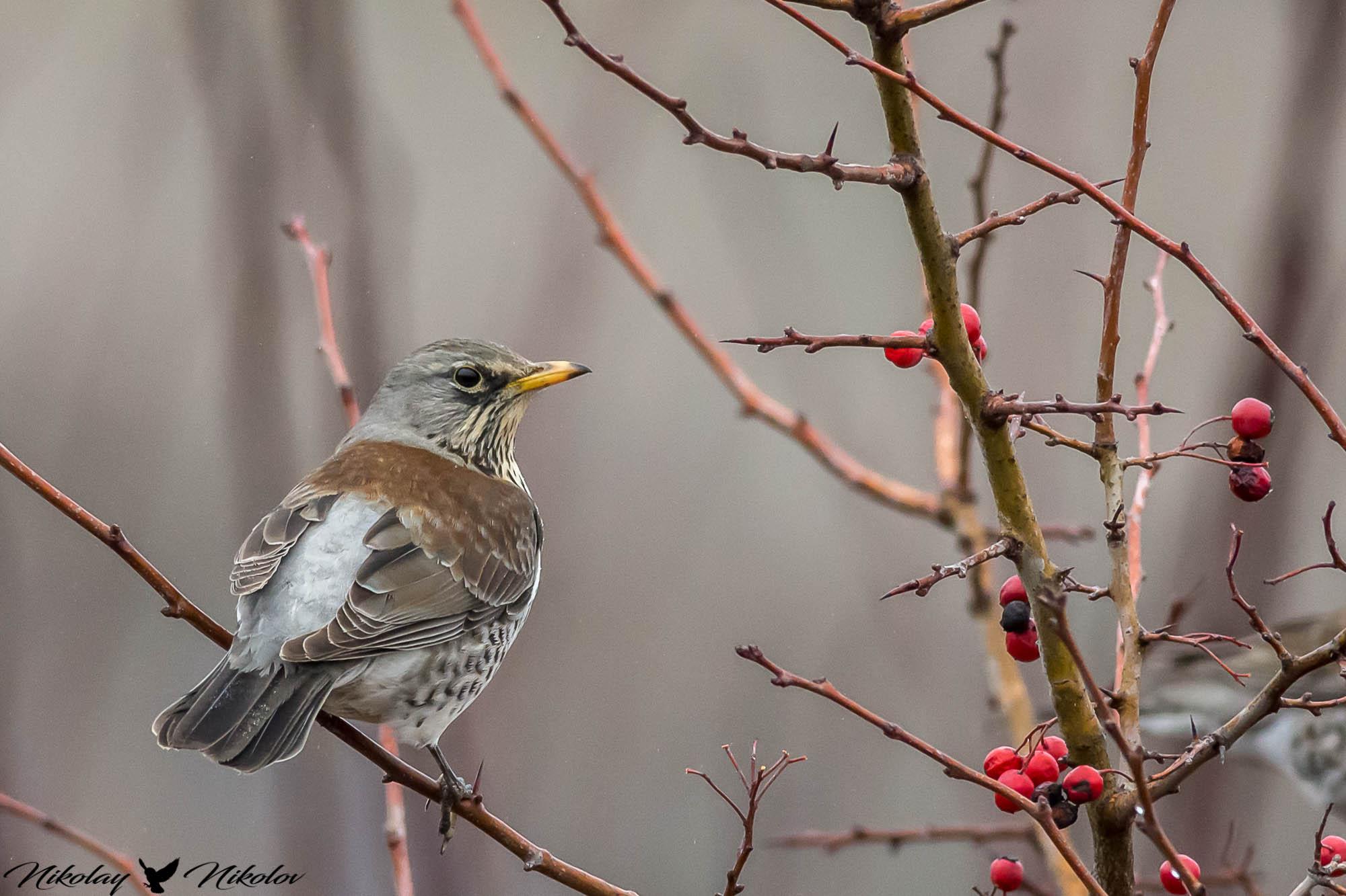 fieldfare,bird,winter,red,wings,wildlife,nature,landscape, Nikolay Nikolov