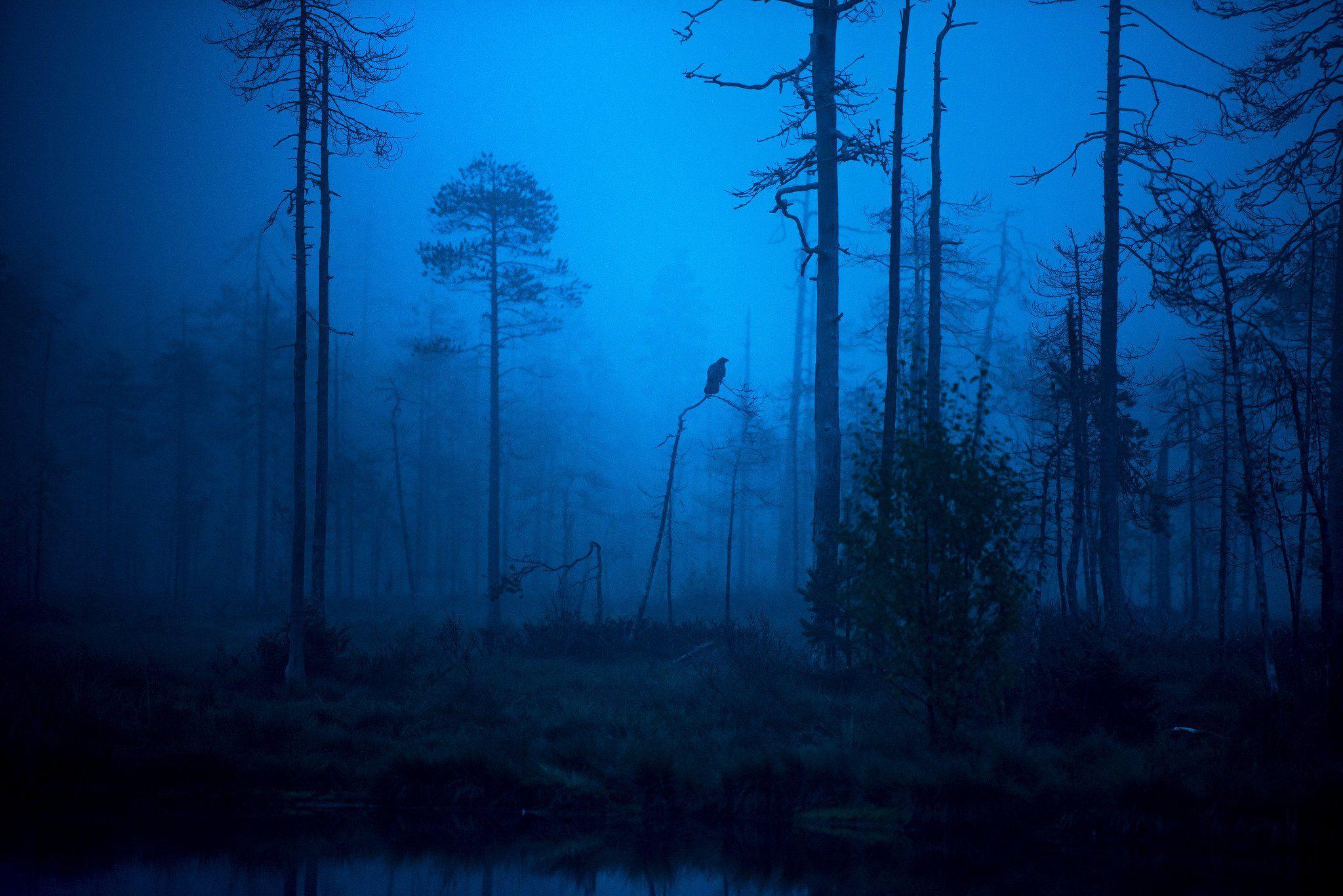 raven, morning, mist, finland, Jarkko Järvinen