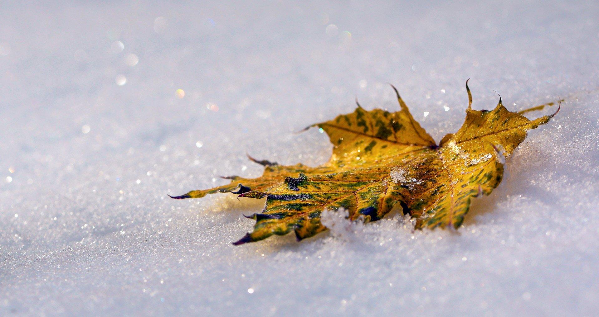 природа, макро, осень, снег, белый, опавший лист, желтый, боке, Неля Рачкова