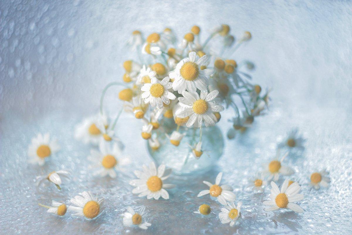 rumianek,kwiaty,natura,przyroda, Grażyna Nowotna