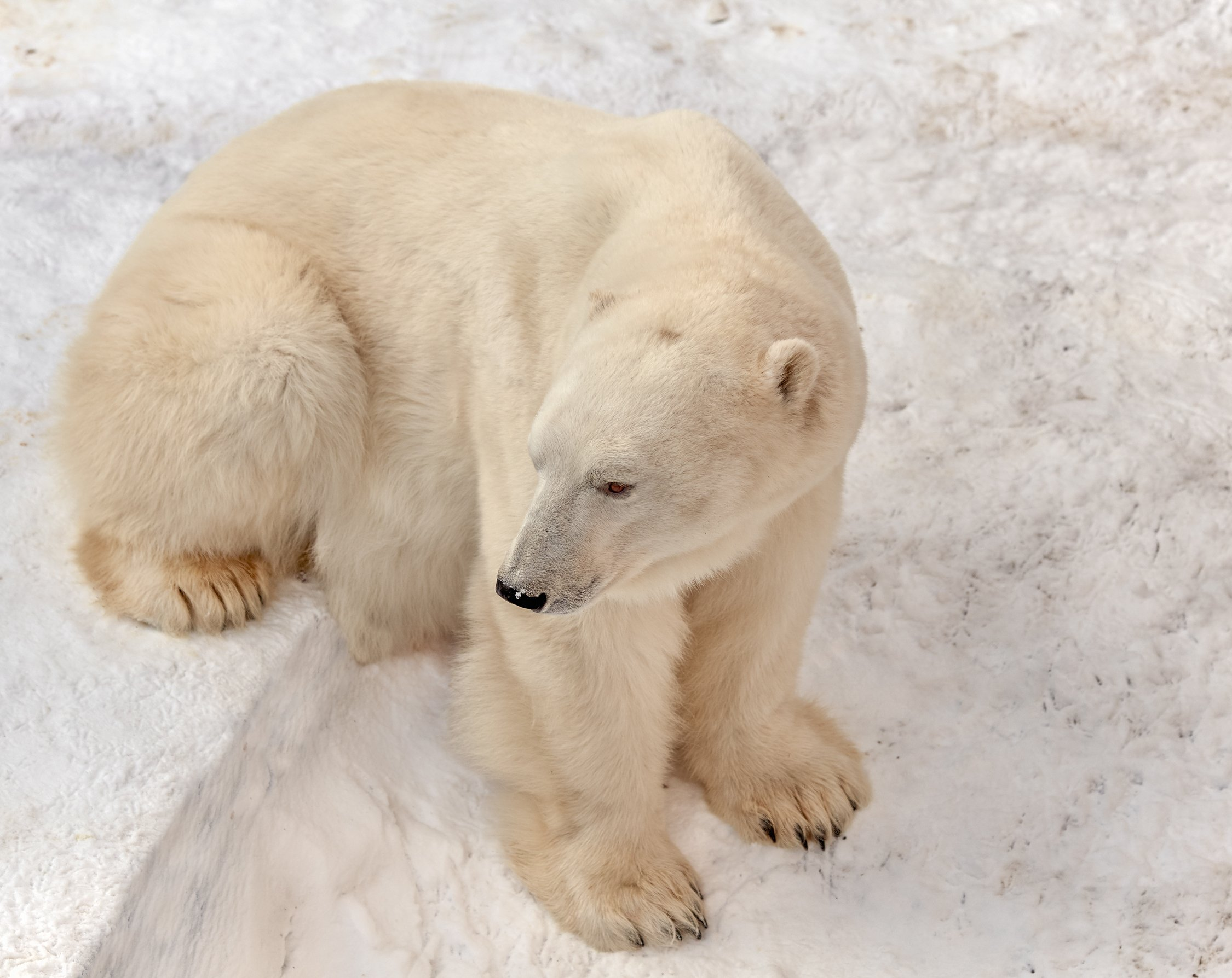 белый медведь, Олег Богданов