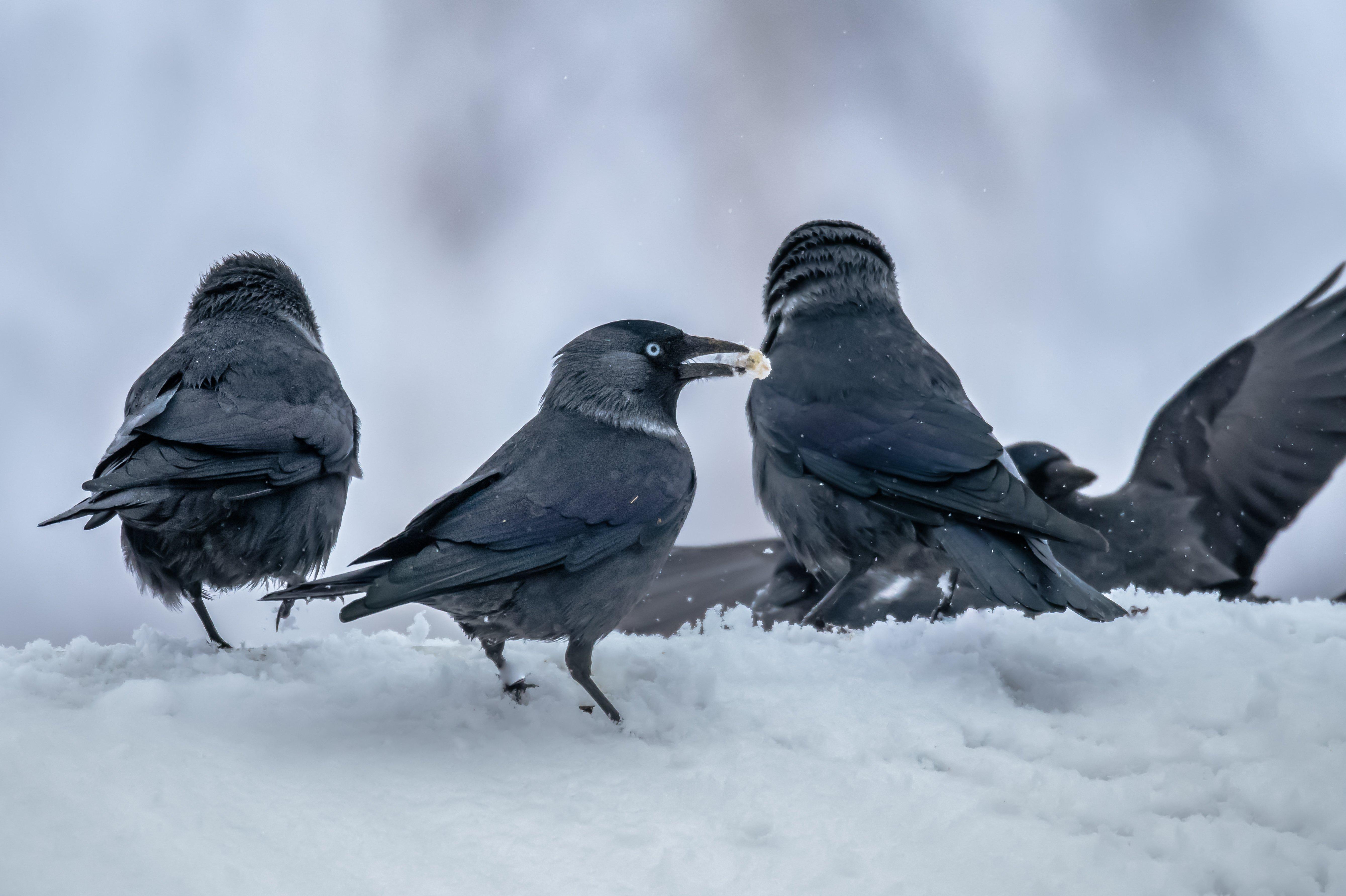 галки, птицы, снег, зима, снегопад, гуляния, праздник,corvus monedula, Соварцева Ксения