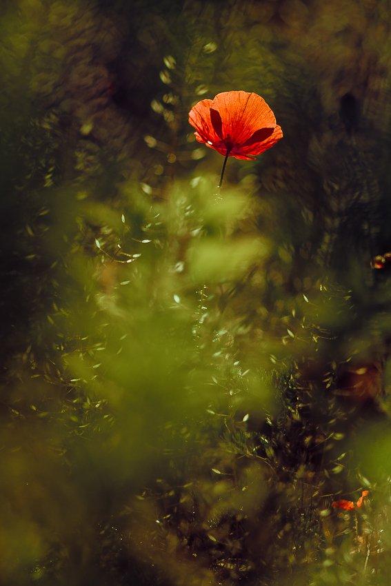 poppy, nature, flowers, Gabriel Prescornita