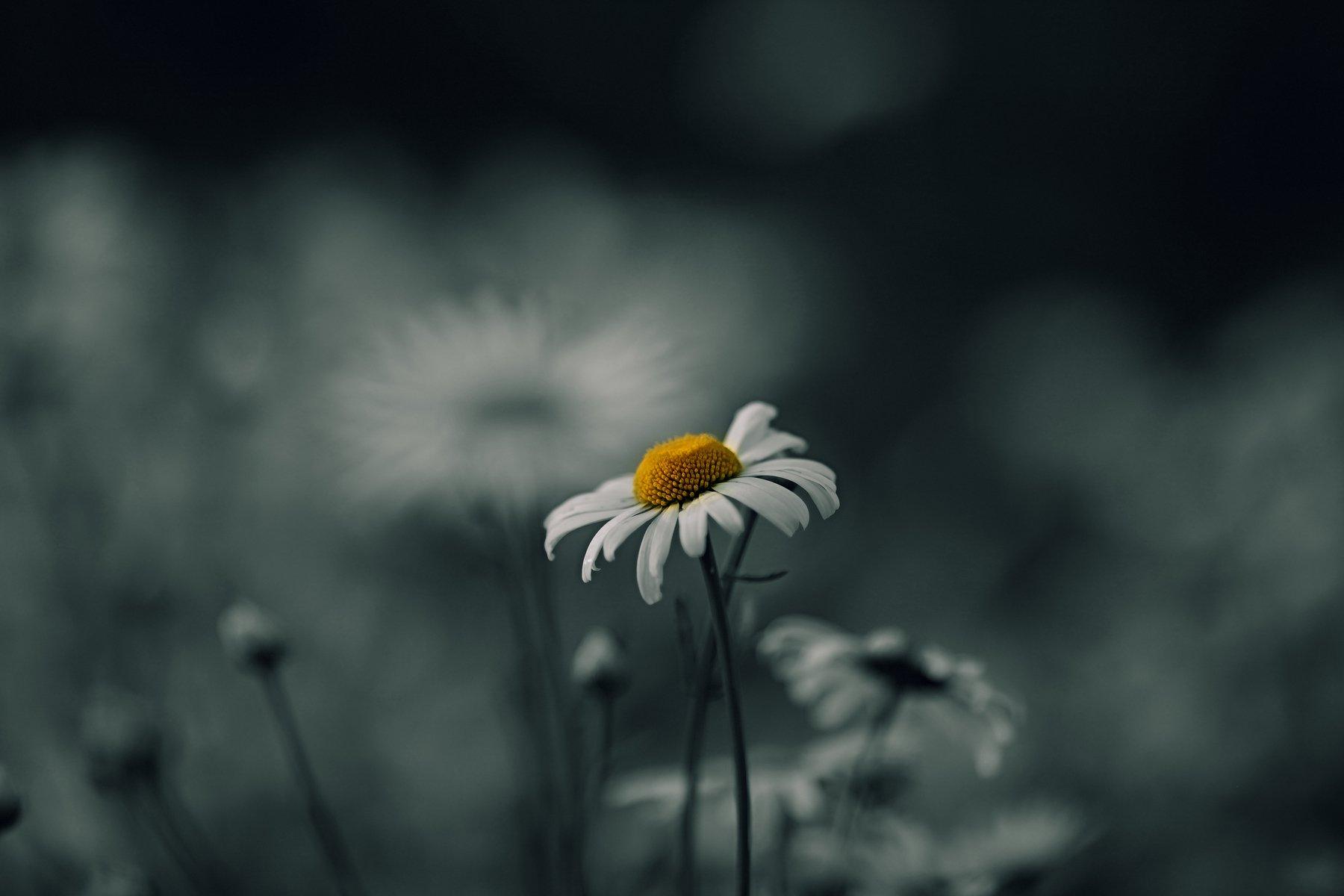 ромашки цветы природа помолейко pomoleyko многолетние цветковые растения семейства астровые asteraceae matricaria camomile daisy chamomile, Павел Помолейко
