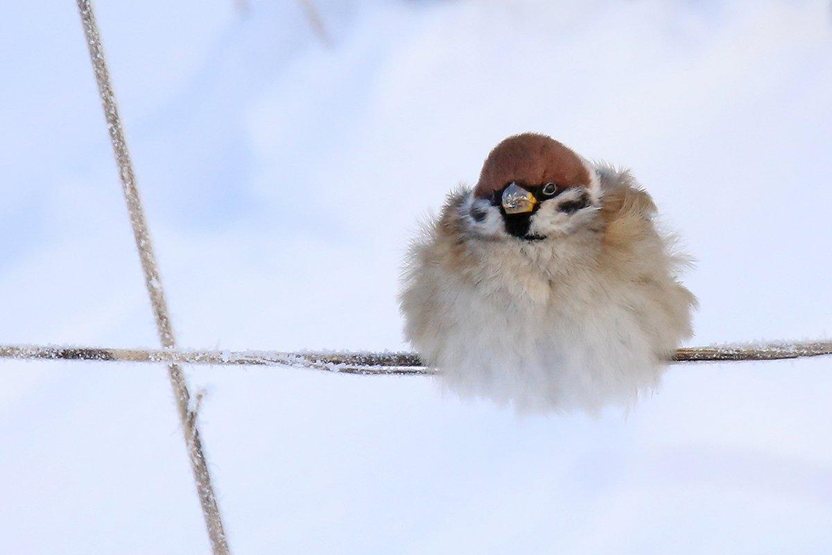 полевой, воробей, passer montanus, tree sparrow,, Виктор Иванов