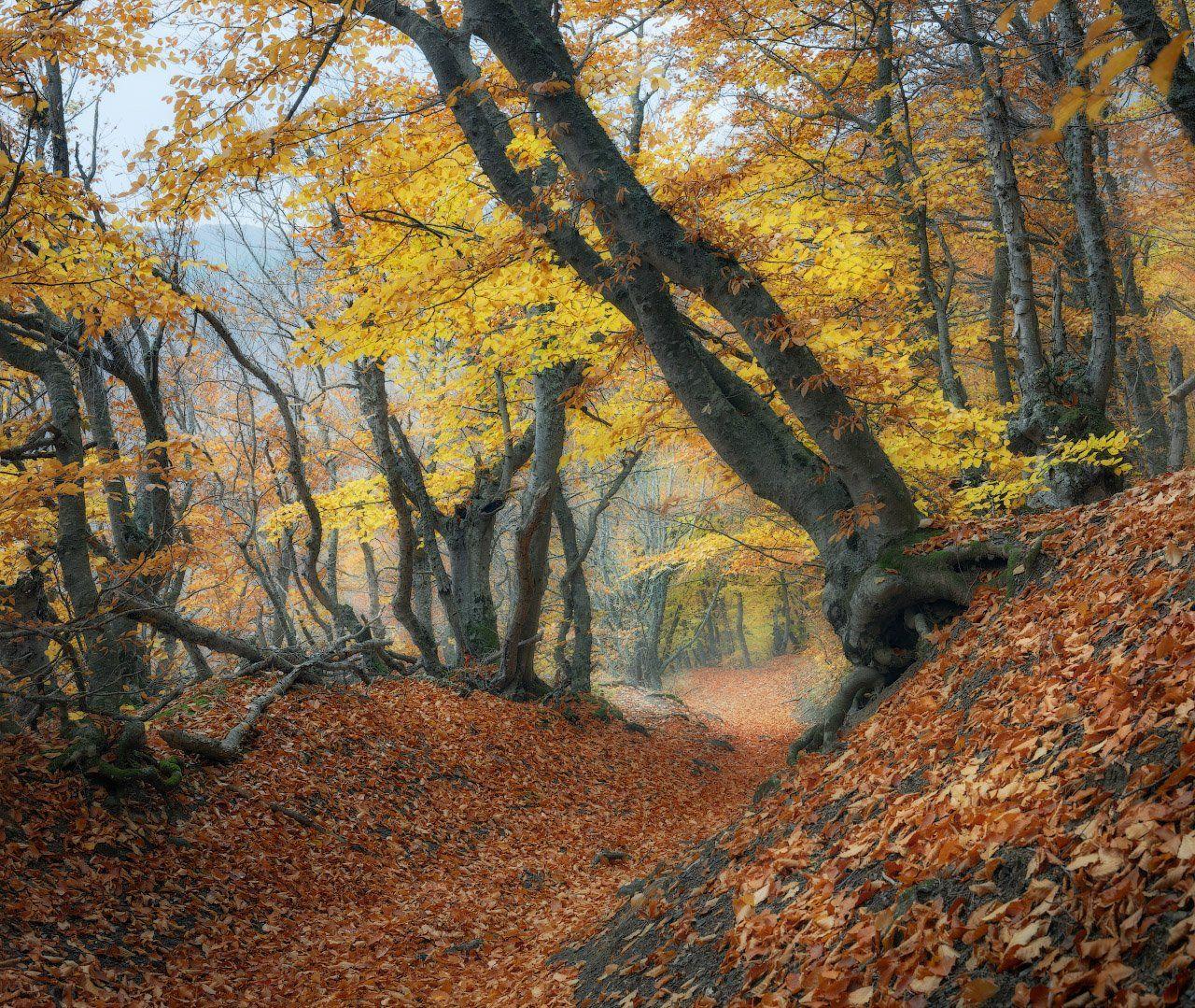 лес, осень, бук, Дмитрий Медянцев