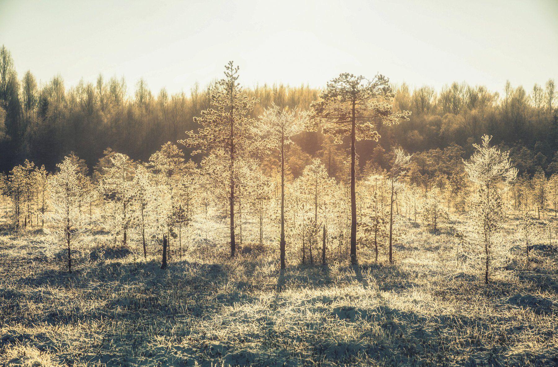 природа, сосны, лес, болото, утро, иней, Дмитрий Иванов