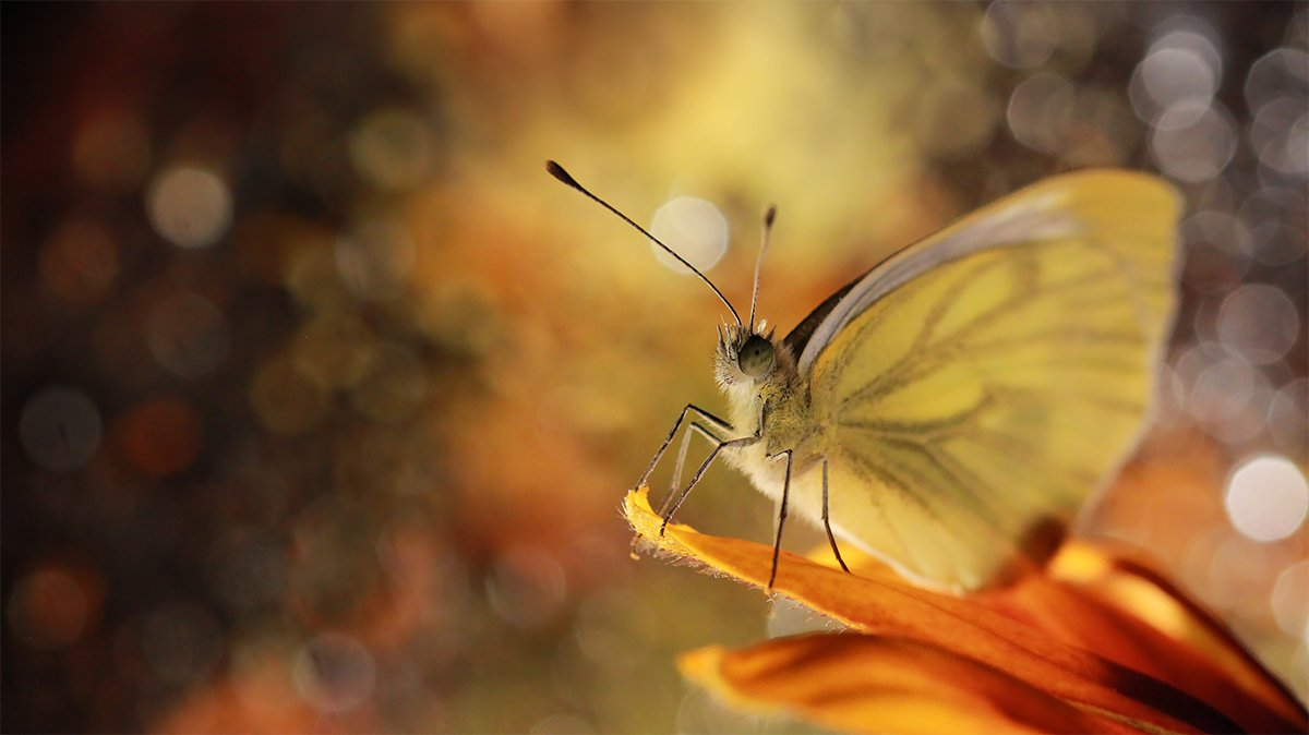 motyl,bielinek,makro,natura,przyroda, Grażyna Nowotna