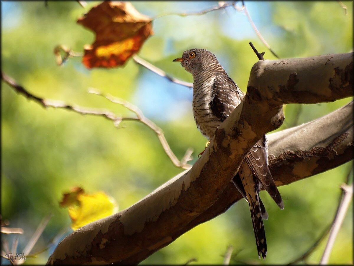 адлер, кукушка, птицы, Cuculus canorus, nature, осень, платан, природа, птицы, сентябрь, сочи, Шипилова Татьяна