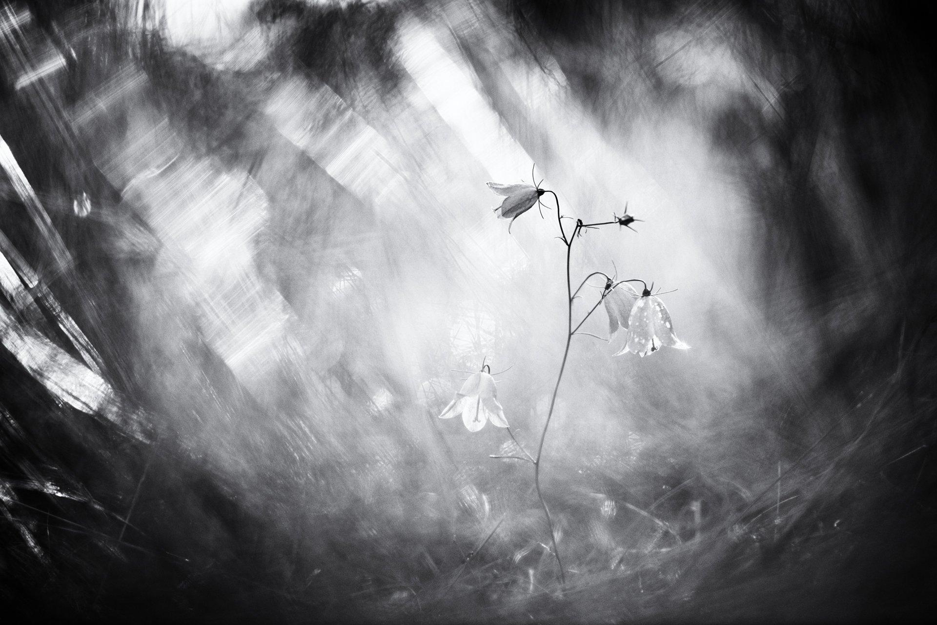 цветы,цветок,макро,растения,колокольчик,флора,природа, Александр Иванов