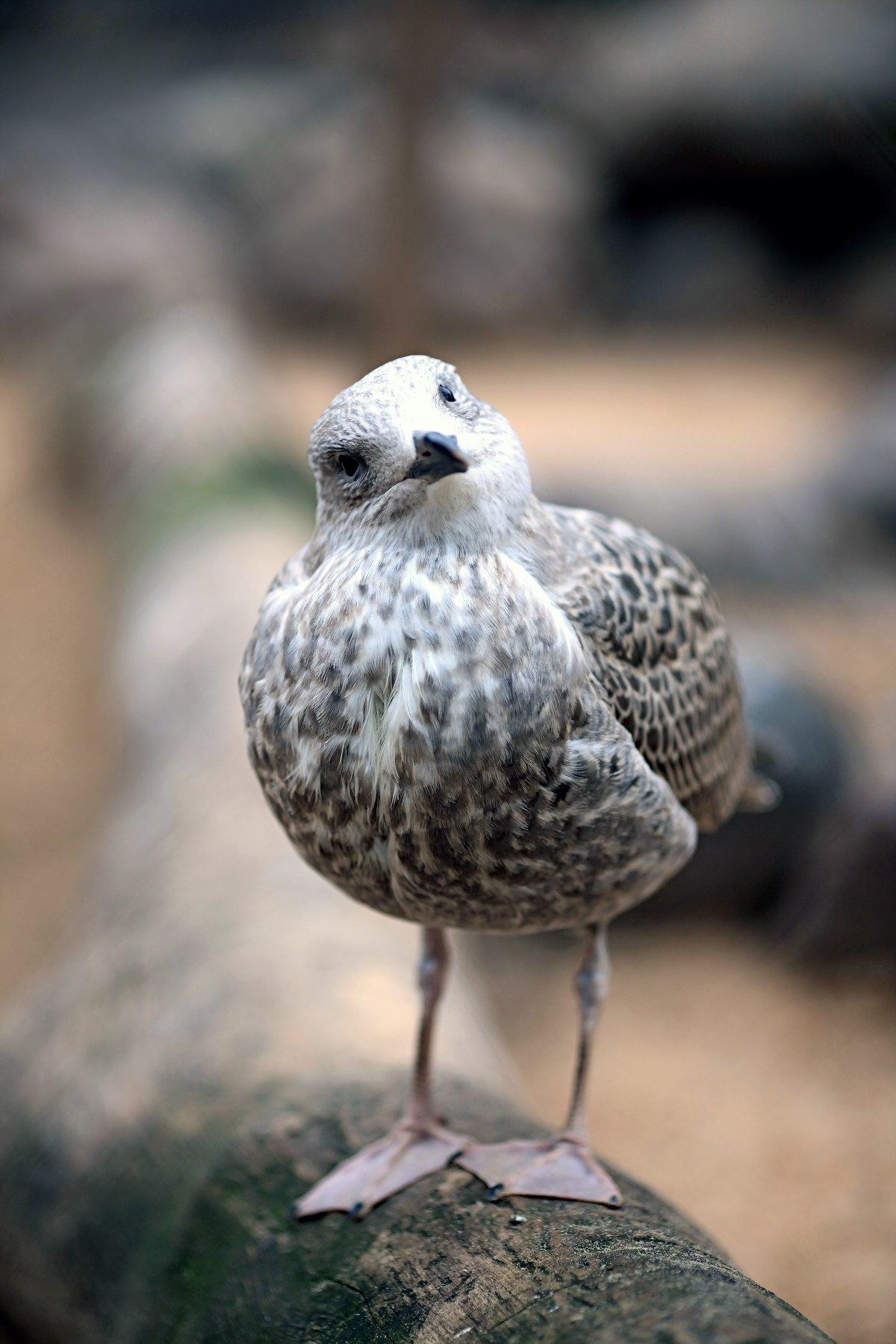 чайка серебристая птица pomoleyko помолейко larus argentatus крупная птица семейство чайковые seagull silver, Павел Помолейко