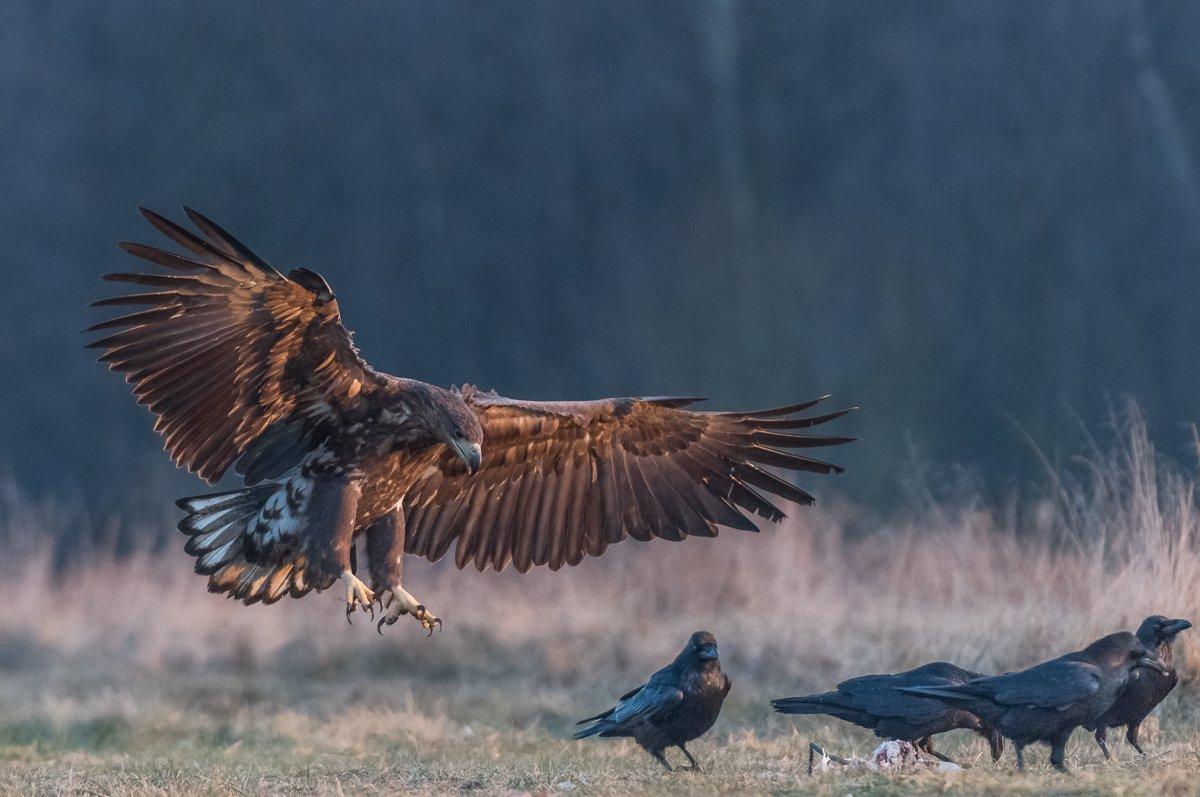 White-tailed Sea Eagle, Haliaeetus albicilla, bielik zwyczajny, Dominik Chrzanowski