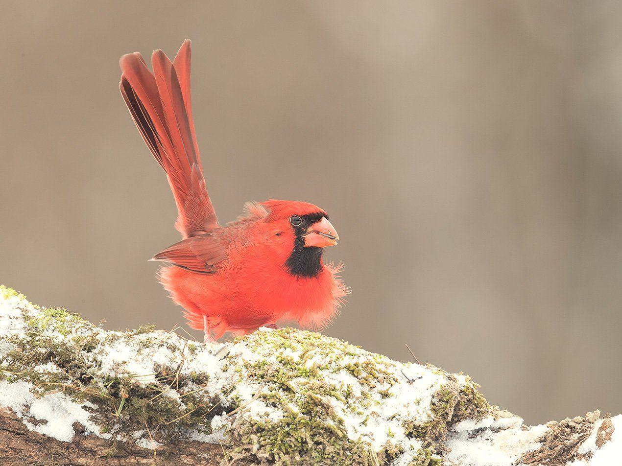 красный кардинал, northern cardinal,cardinal, кардинал, snow,снег, птицы на снегу, Elizabeth E