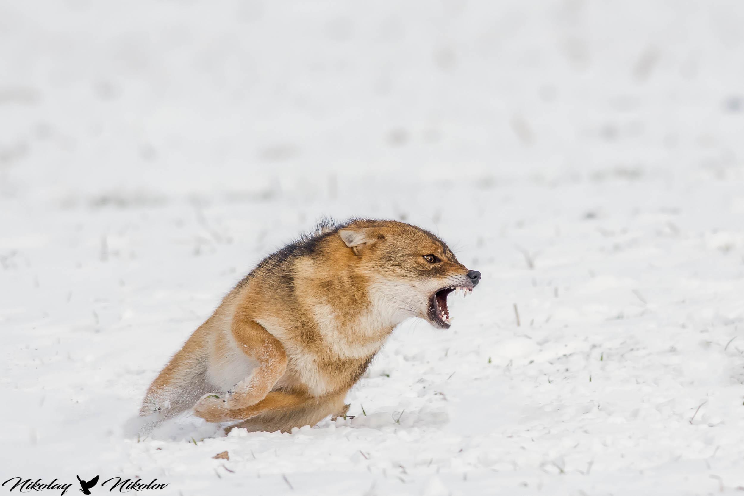 jackal,winter,snow,wildlife,landscape,run,action,fury,range, Nikolay Nikolov