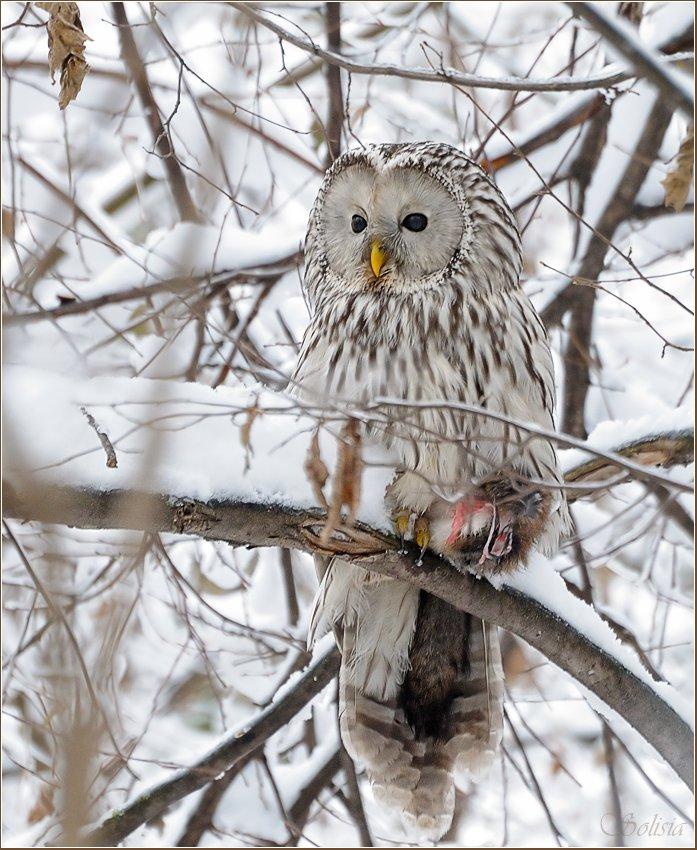 strix uralensis, неясыть длиннохвостая, природа, птицы, совы, уральская, Солисия