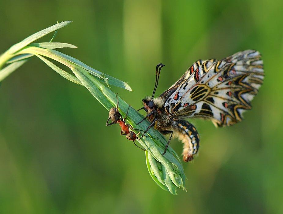 бабочка,муравей, Татьяна Аверина